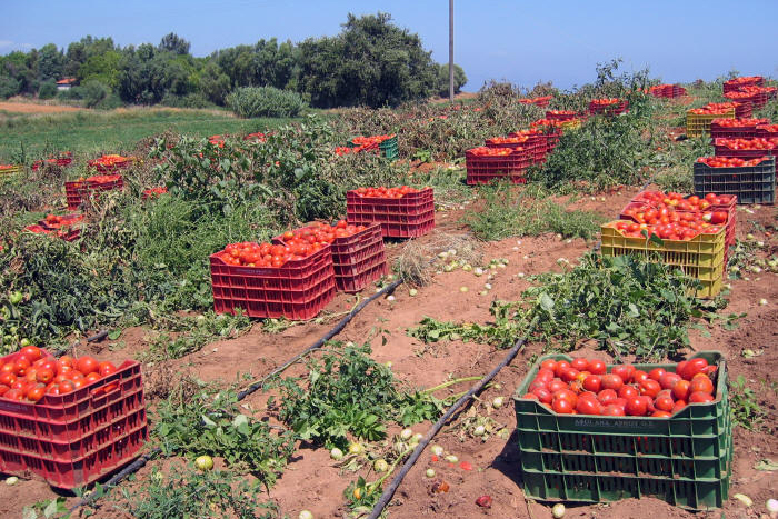 Tomato harvest Lakopetra in North-West Peloponnese