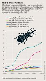 Graphic: Insect Atlas 12 - Gobbling through grain