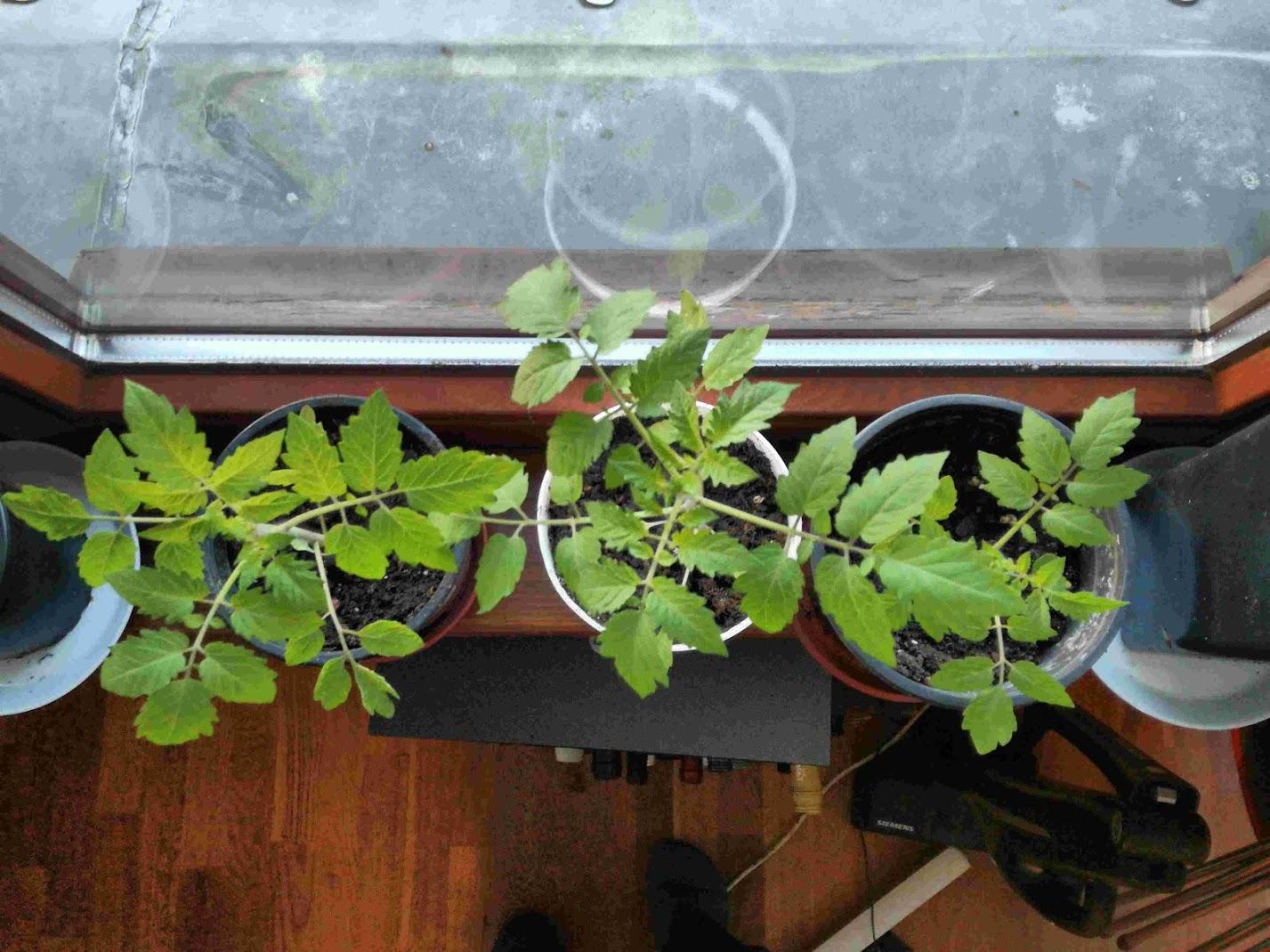 tomaten selbst zu ziehen ist gar nicht schwer heinrich b ll stiftung. Black Bedroom Furniture Sets. Home Design Ideas